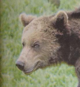 Loki Bear